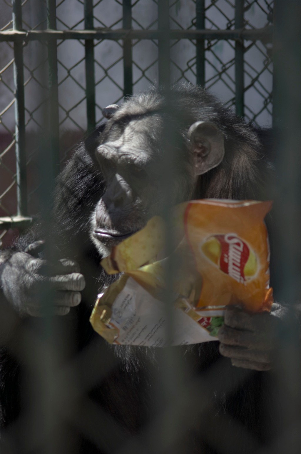 chimpanzee, zoo, giza crisps, cairo, photography, giza