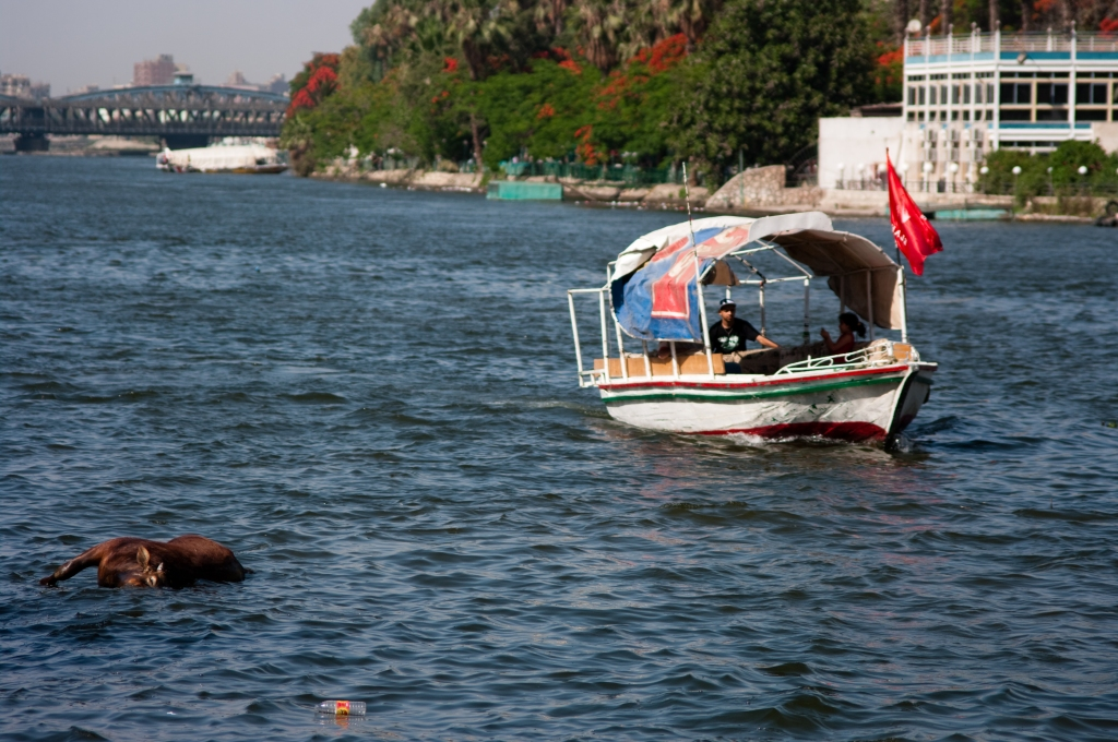photography,dead cow, nile, cairo,egypt,boat