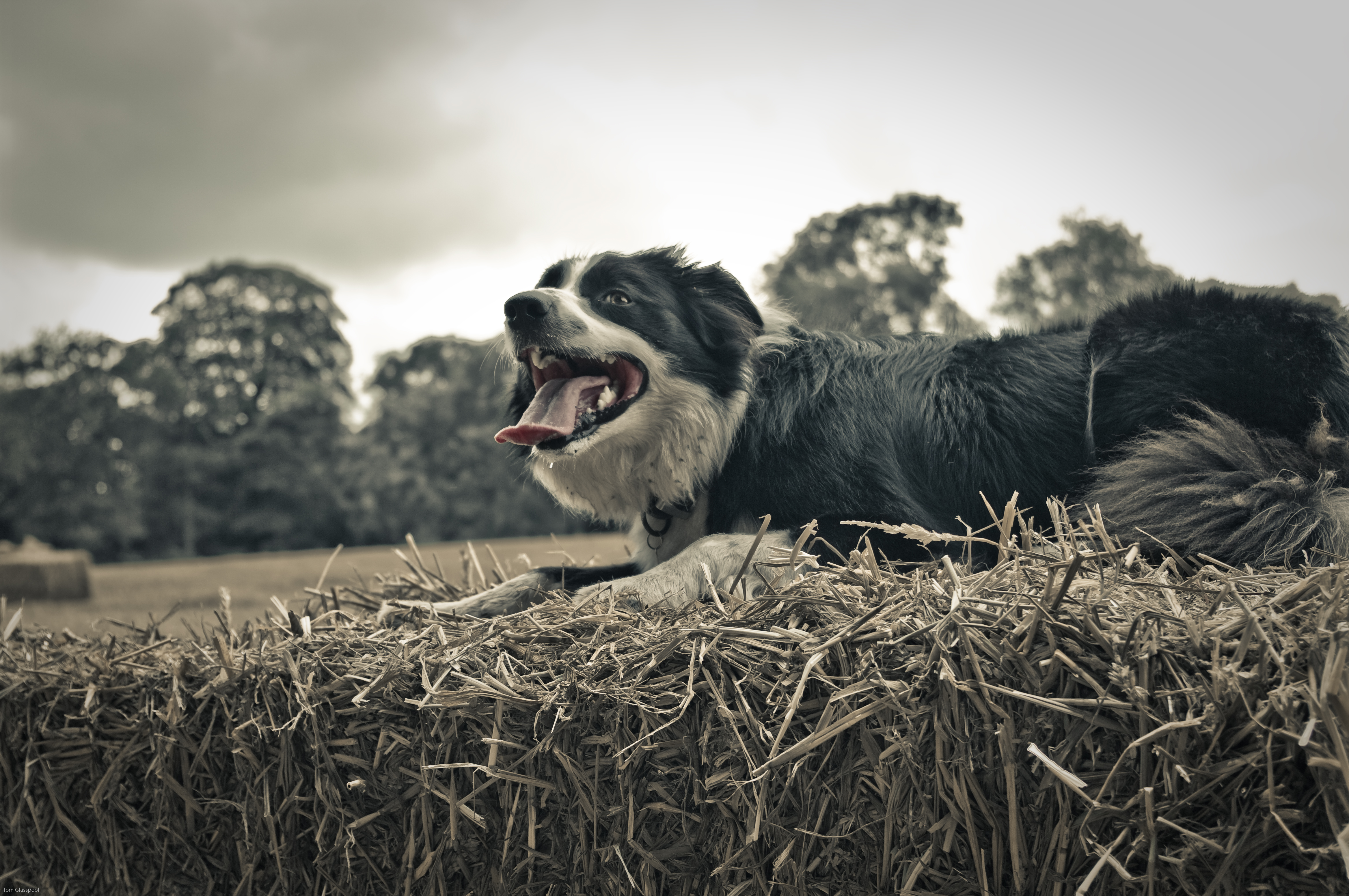 border collie, dog, sheepdog, field, hampshire, harvest, england, photography