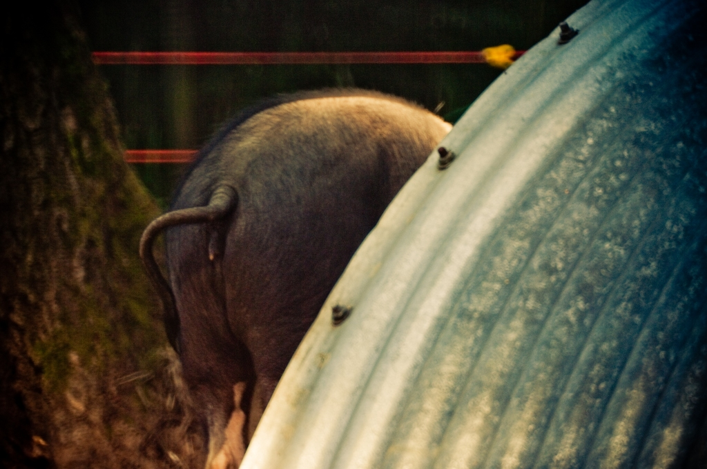 rear end, pig, field, sty, england, photography