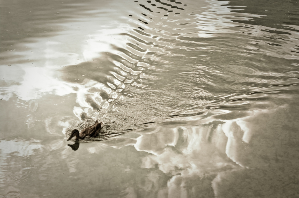 duck, lake, Austria, ripples, Photography